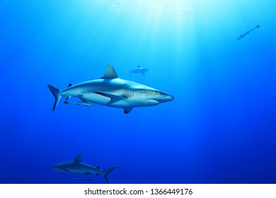 Grey reef shark (Charcharhinus amblyrhynchos) underwater in the Great Barrier Reef of Australia