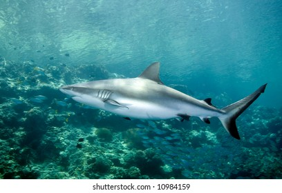 A grey reef shark swimming along the reef edge. A small school of fish are in the background