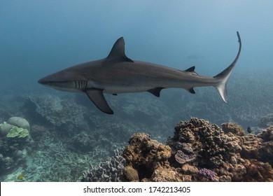 Grey Reef Shark swimming over pristine coral reef, Ningaloo Reef, Western Australia