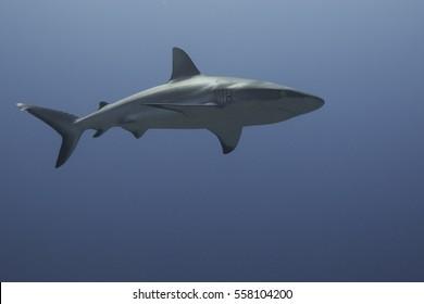 Grey Reef Shark swimming over reef