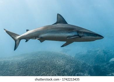 Grey Reef Shark swims overhead, coral in backgroun, Ningaloo Reef, Western Australia