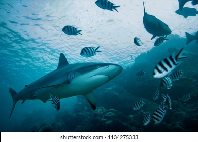 Grey Reef shark underwater against water surface and rocks
