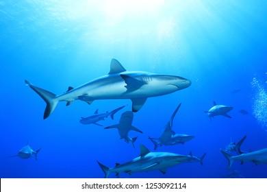 Grey reef sharks (Charcharhinus amblyrhynchos) underwater in the Great Barrier Reef of Australia