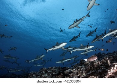Grey Reef Sharks in the current - Fakarava