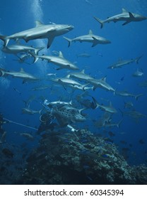 Grey reef sharks at a shark feed. Osprey reef. Queensland, Australia