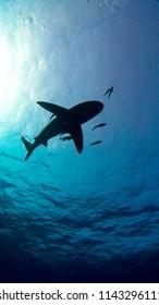 Grey Reef Sharks Swim Near Surface, silhouette