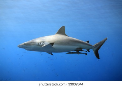 a grey reef, or whaler shark swimming in shallow water with sunbeams and some small fish in the background. Two suckerfish are attached to the shark's belly