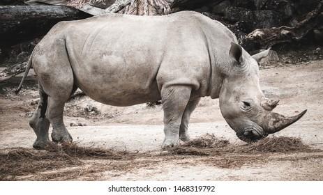 Grey Rhino Sniffing his Food