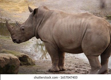 A grey rhino standing on the ground next to the water
