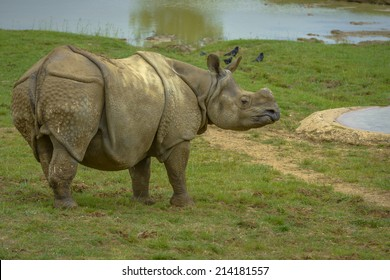 Grey Rhinoceros without Hornes with birds in the background