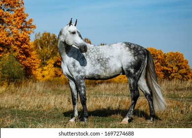 Grey  RHLD breed horse  standing in the field. Exterior photo, breed body type.