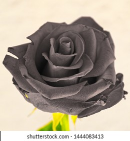 Grey rose. A close-up of a rose edited to grey (gray).
