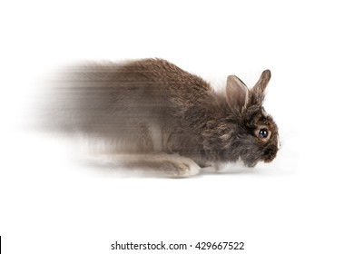 Grey running bunny isolated on a white background