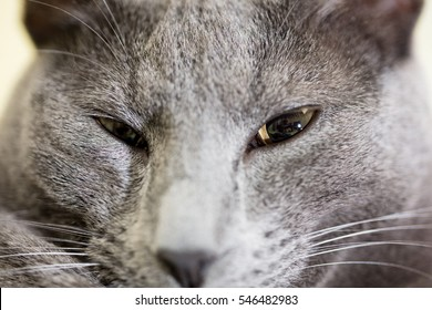 Grey Russian male cat's head closeup shot.