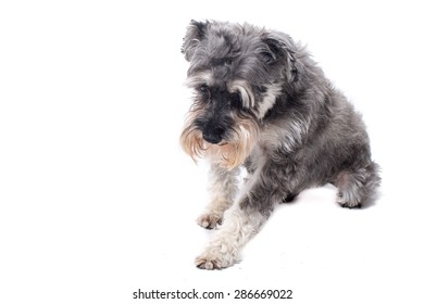 Grey Salt and Pepper Colored Miniature Schnauzer Terrier Dog Getting Up or Lying Down in Studio with White Background