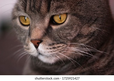 The grey Scottish cat doesn't look at the camera.Muzzle close-up and big eyes.Pets.World pet day.