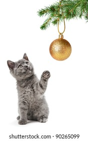 grey scottish cat on the white background