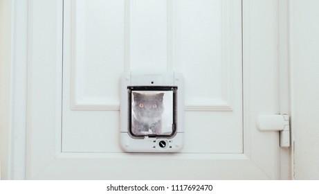Grey Scottish Fold cat looking through cat flap
