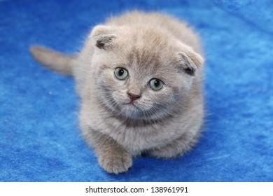 Grey scottish kitten on the bed