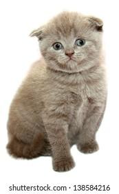 Grey scottish kitten on the white background
