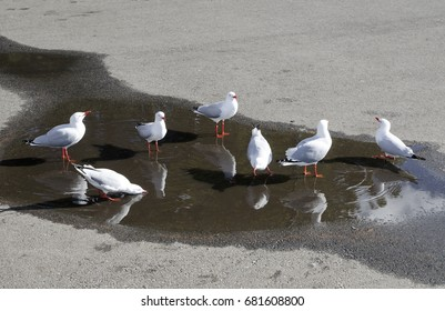 Grey Seagulls bunched together and Drinking water from the ground.