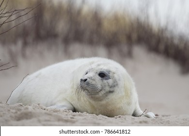 Grey seal baby on the dune