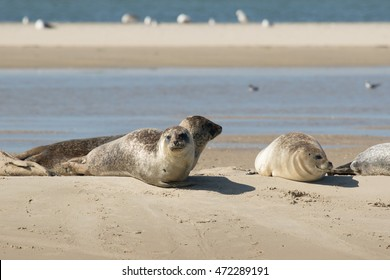 Grey seal at the beach