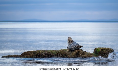 Grey seal bull enjoying late evening light on a rock in the Moray Firth along the Sutherland coast near Brora