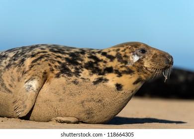 grey seal close up on beach/Grey Seal