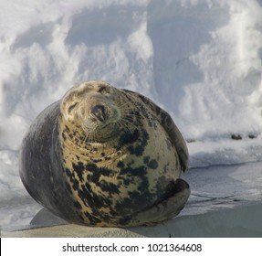 Grey seal closeup