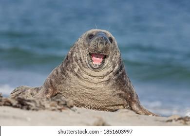 colonie de phoques gris sur le Helgeland. Une colonie de phoques pondant sur la plage. La faune européenne.