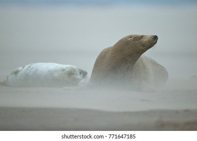 Grey seal cow and pup (Halichoerus grypus), on the beach at Donna Nook, Linconshire, UK