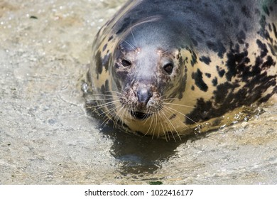 Grey Seal, Halichoerus grypus, detail portrait