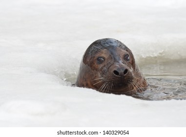A grey seal (Halichoerus grypus) emerges from ice-hole
