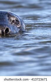 Grey Seal (Halichoerus grypus) head portrait in the sea. Image taken in the wild on the UK coastline