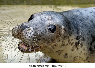 Grey Seal (Halichoerus grypus) Juvenile affected by seal pox in care at wildlife rescue centre.