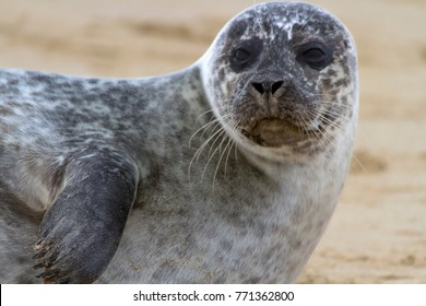 Grey Seal (Halichoerus grypus), also known as Gray, Atlantic and Horsehead Seal, ashore to breed and raise their new born pups in the autumn, seen here at Horsey in Norfolk, England.