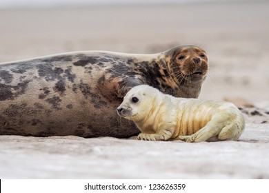 grey seal (halichoerus grypus) mother and puppy on the beach