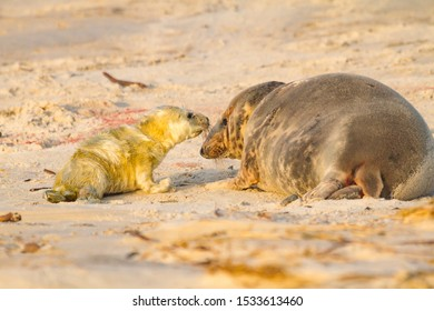 Grey seal (Halichoerus grypus), new born seal
