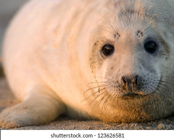 grey seal (halichoerus grypus) on the beach