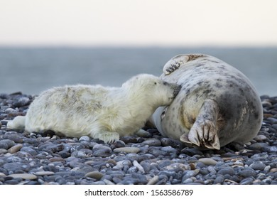 Grey Seal (Halichoerus grypus), pup is nursed by mother seal, Helgoland, Schleswig-Holstein, Germany