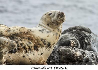 Grey seal (Halichoerus grypus), resting on cliffs, Farne Islands, United Kingdom.