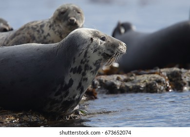 Grey Seal (Halichoerus grypus) resting on rocks at the water's edge, Farne Islands, Northumbria, England, UK.