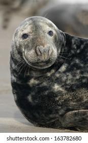 Grey seal, Halichoerus grypus, single mammal by water, Lincolnshire