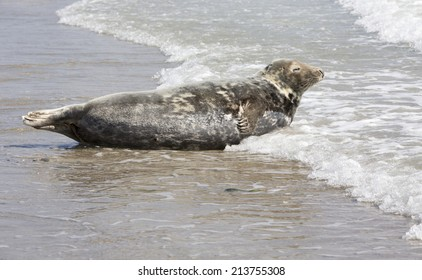 Grey seal at Helgoland-Dune Island (Germany)