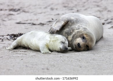 Grey seal: mother and juvenile lying on the beach