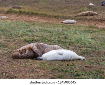 Grey Seal Mother Scratching Her Pup.  At Donna Nook, Lincolnshire.