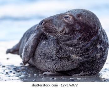 grey seal on the beach