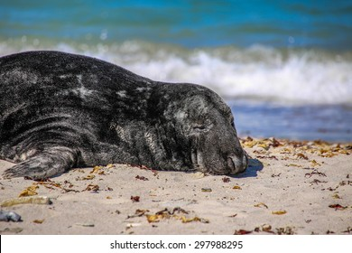 Grey seal on the beach of the island Helgoland in Germany