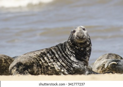 Grey Seal on norfolk beach